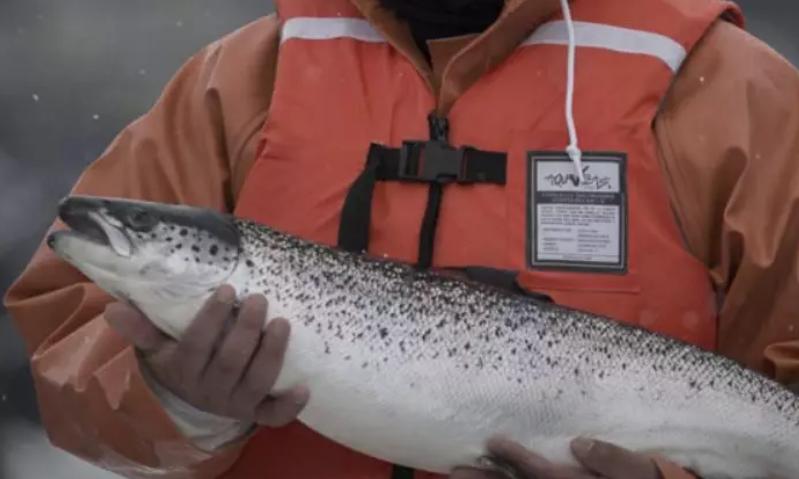 """智利三文鱼公司报""""假数据"""" 获利高于市价30%"""