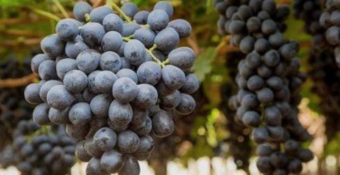 智利葡萄受干旱和暴乱双重影响出口量下降